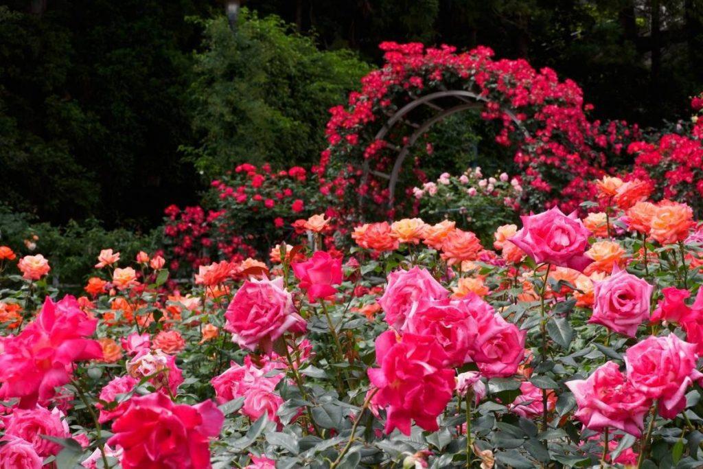 rose garden in Paris